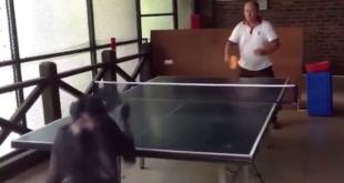 chimpanze-ping-pong